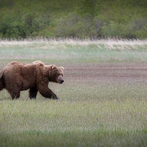 The Mighty Kodiak Bear