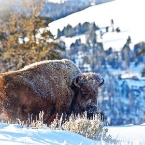 Intimidatng Bison