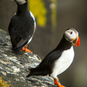 Iceland Puffin Couple