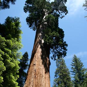 Sequoia Giant Trees