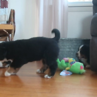 puppies playing.MP4