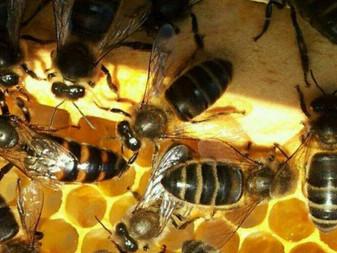 Reforman diputados Ley Ambiental para proteger a las abejas