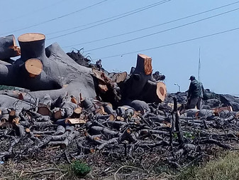 Denuncian tala indiscriminada de árboles en Villa de Álvarez