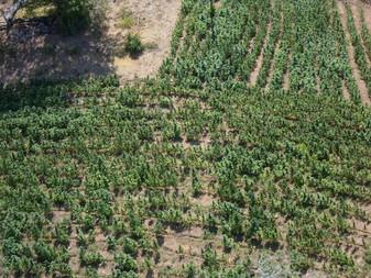 Destruyen más de siete mil plantas de marihuana en Tequila, Jalisco