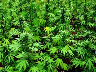 Cámara de Diputados someterá mañana a votación la aprobación del uso lúdico de la marihuana México