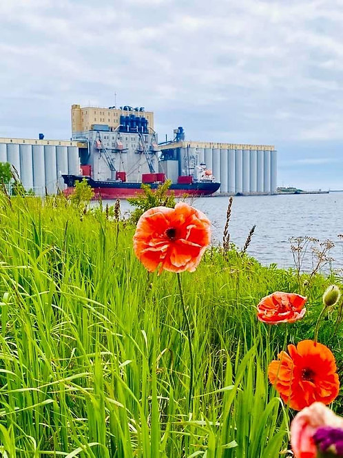 Poppies at the Waterfront - February 2021