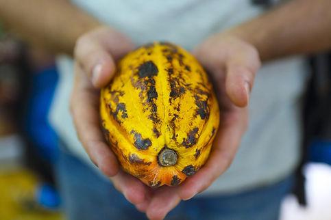 La cabosse le fruit du cacaoyer.jpg