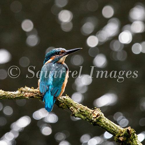 Kingfisher 2 - Greetings Card