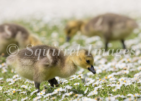 Goslings - Greetings Card