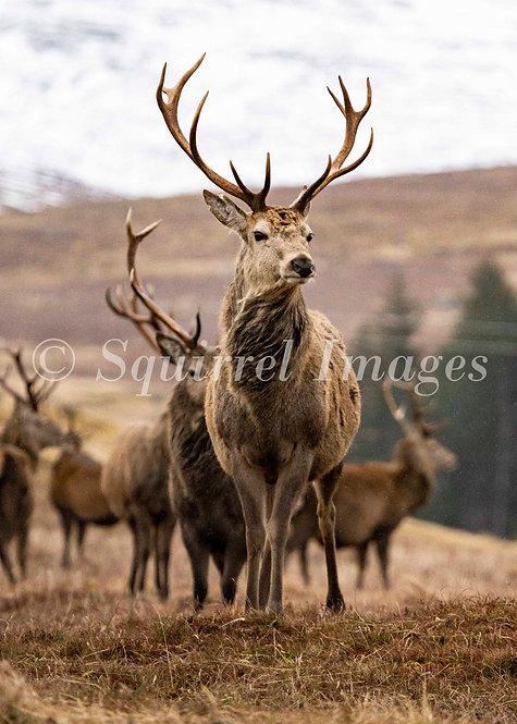 Red deer stag - Greetings Card
