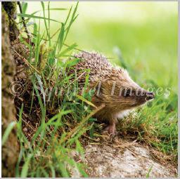 Hedgehog - Greetings Card