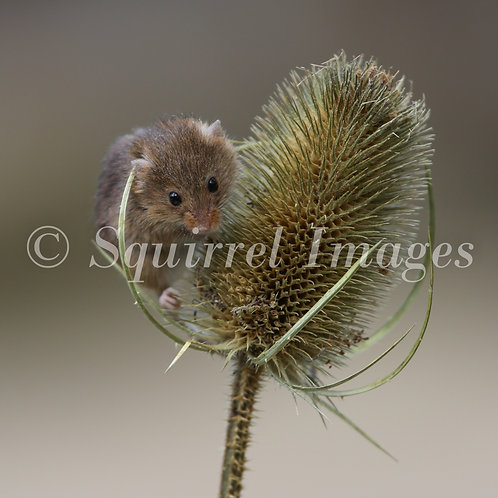 Harvest Mouse - Greetings Card