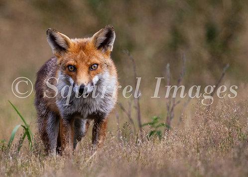 Fox - Greetings Card
