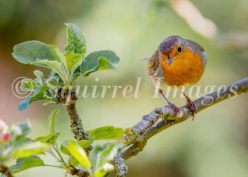 Robin in the apple tree - Greetings Card