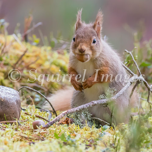 Red squirrel 1 - Greetings Card