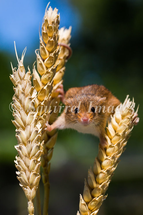 Harvest Mouse - print