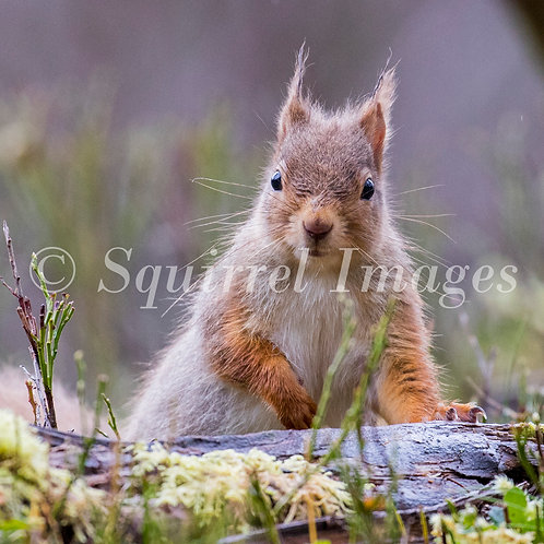 Red squirrel 3 - Greetings Card