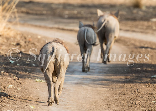 Warthog walk - Greetings Card