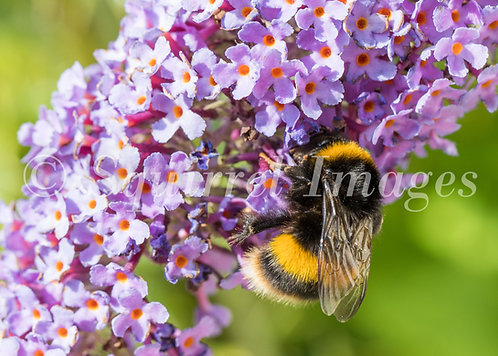 Bee on buddleia - Greetings Card