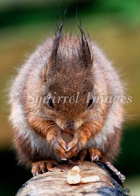 Squirrel - Greetings Card