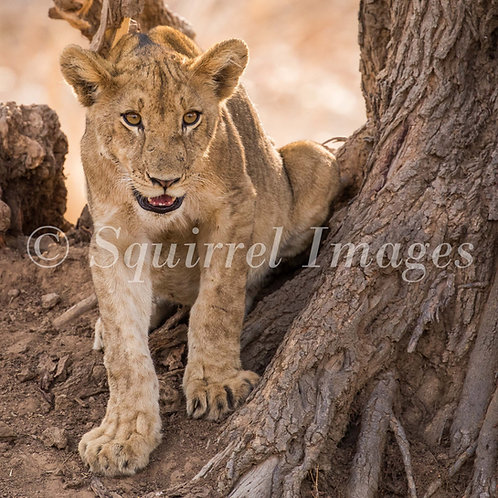 Lion under a tree - Greetings Card