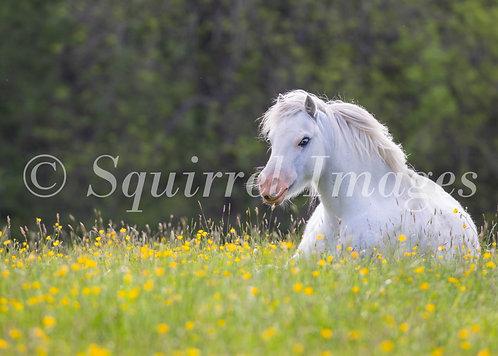 White horse - print