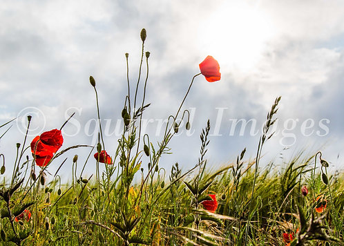 Poppies - Greetings Card