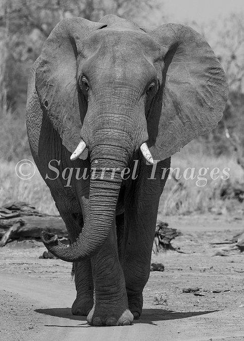 Elephant B&W - print