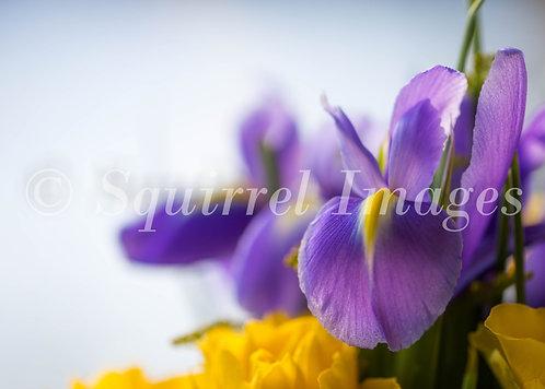 Iris - Greetings Card