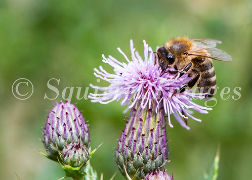 Bee on thistle - Greetings Card