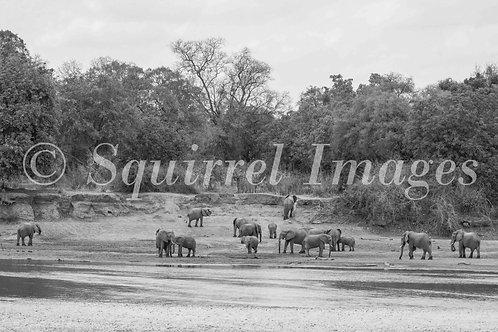 Elephant landscape B&W - print