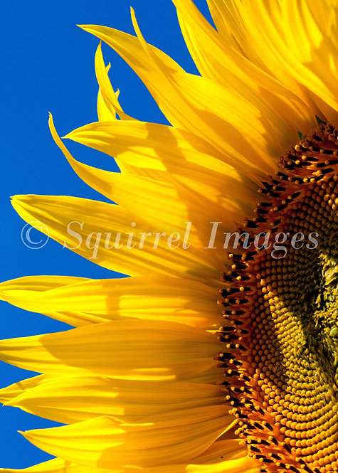 Sunflower - Greetings Card