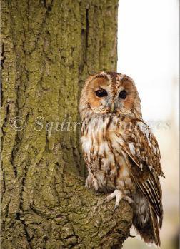 Tawny Owl - Greetings Card