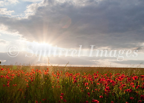 Poppies at sunset - Greetings Card