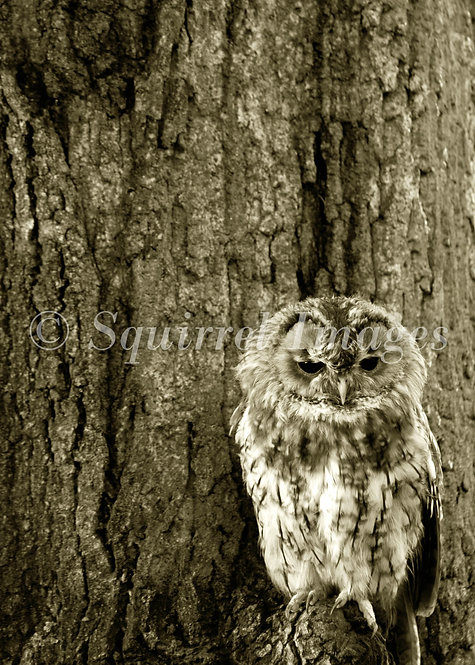 Tawny Owl - Greetings Card