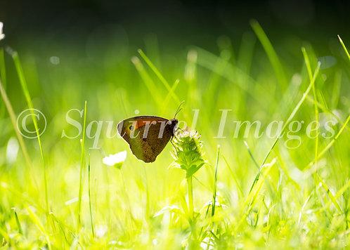Meadow Brown - Greetings Card