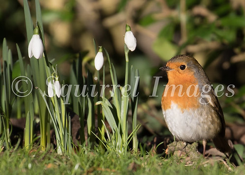 Robin in snowdrops - Greetings Card