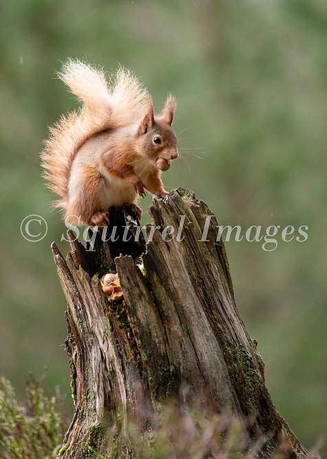 Red squirrel 6 - Greetings Card