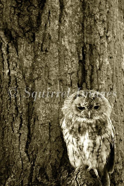 Tawny Owl - print
