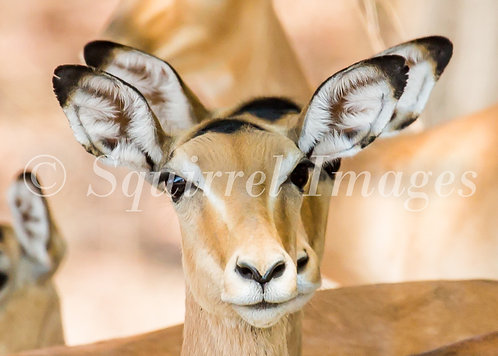 Impala - Greetings Card