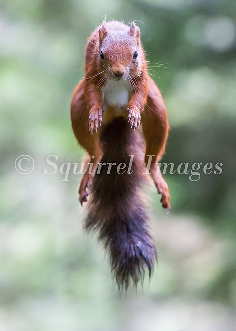 Jumping Red Squirrel - Greetings Card