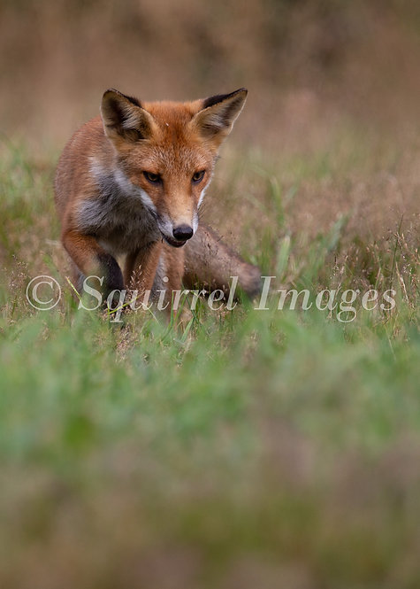 Fox cub - Greetings Card