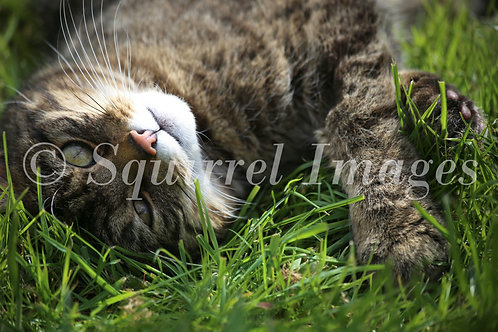 Scottish wildcat - Greetings Card