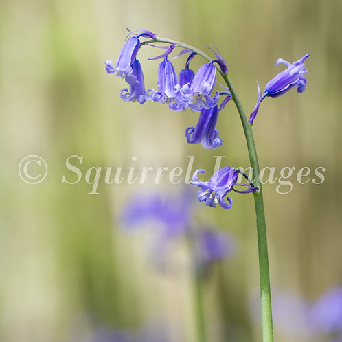 Bluebell - Greetings Card