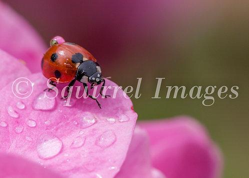 Ladybird in the rain - Greetings Card