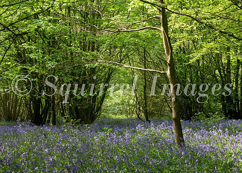 Bluebell arch - Greetings Card