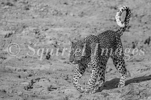 Leopard on the sand - Greetings Card