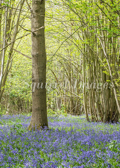 Bluebells in ancient woodland - Greetings Card