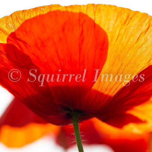 Poppy - Greetings Card