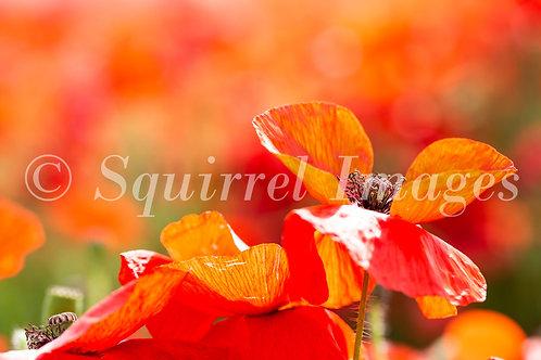 Poppies - Greetings Card